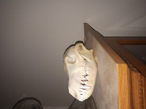Coyote skull. Great for painting or collecting