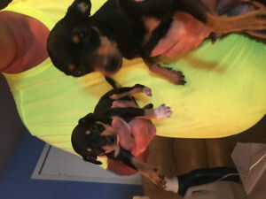 Pinscher nain.........male...... 8 semaines