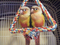 Pineapple Conures