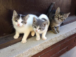 Kittens for Adoption - Storm Haven Animal Rescue