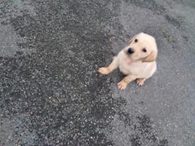 Labrador puppies 1 Girl