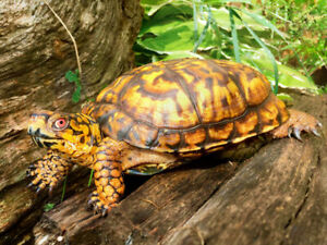 Pure Eastern Box Turtle babies! CB2018. Males/females available.