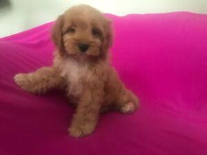 RESCUED TINY MINI DOODLE PUPPY FEMALE F3