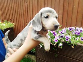 Minture dachshund puppies