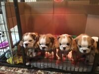 Bulldog puppies. KC Registered.