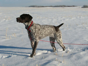 EXCEPTIONAL LITTER OF GERMAN SHORTHAIRED POINTER PUPS.