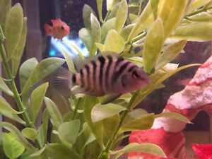 Cichlids, convict and red jewel juveniles