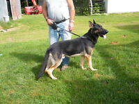 Adult German Shepherds-NON REGISTERED