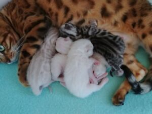 snow lynx spotted bengal kittens