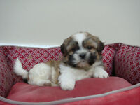 Cute Little Shih Tzu Puppies - Only1 female left!