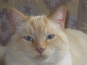 Missing , believed Trapped or stolen , white Flame Point