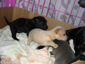 CHIHUAHUA PUPPIES First Shots Health Record Dewormed Peterborough Peterborough Area image 4