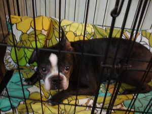 Old boston terrier dog named Rocky.  His  Birthday ;22 nov. 2003