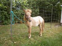 Yearling Miniature Appaloosa Colt For Sale