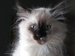 LYNX POINT SIAMESE  x  BIRMAN kittens for sale