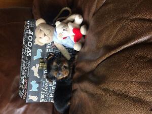 Chiots Yorkshire Terrier enregistré CCC/CKC pure race