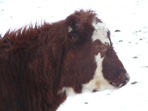 Angus-hereford cross heifers