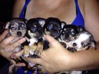 Gorgeous beautiful purebred chihuahua puppies