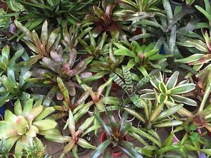 Bromeliads, Cactus, Succulents & Hanging Baskets Stirling Stirling Area Preview