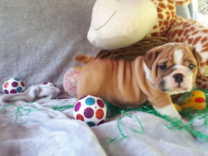 English Bulldog Pups, CKC registered puppies