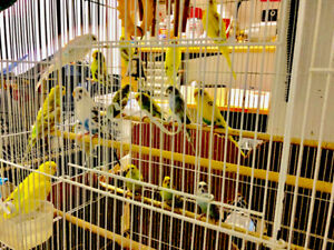 Budgies for sell