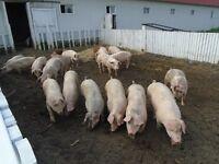 Porc du Québec sans hormones et antibiotiques