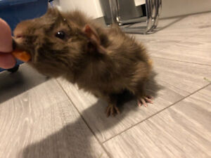 YOUNG MALE GUINEA PIG IN NEED OF NEW HOME