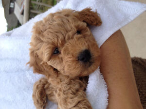 Adorable mini-golden doodle ~at 7 weeks old she is 2.15lbs
