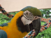 ARA BLEU ET OR / BLUE AND GOLD MACAW