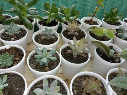 SUCCULENTS for weddings ,and Parties $1 each