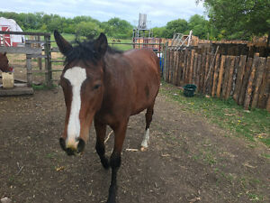 Sporty Bashkir Curly Horse for sale