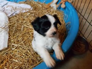 Papillion (Phalene) Pup for sale