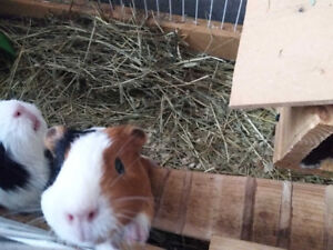 two little cats and geinea pigs for sell