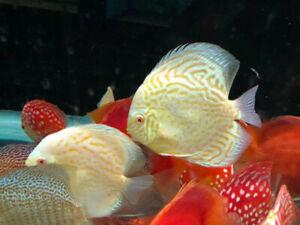 Discus Angel Fish Flowerhorn Cichlids Arowana  Koi Fish Aquarium