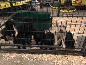 registered CKC LAB PUPPIES FOR SALE
