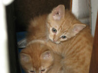 Free Kittens to good home, orange tabby males
