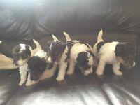 Fox terrier pups for sale