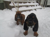 Bloodhounds puppies for sale