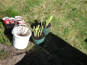 HOSTA plants for sale