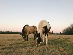 TWO HORSES FOR SALE  - MUST GO TOGETHER
