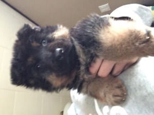 German Shepherds puppy for sale