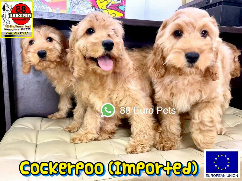 [SOLD] Cockapoo Puppies for Sale (Imported- Hypoallergenic)