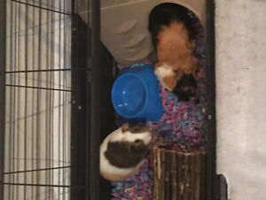 Guinea Pigs Cage and Accessories with two Guinea Pigs