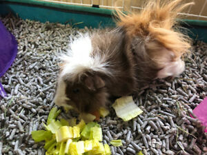 Two Beautiful Male Guinea Pigs