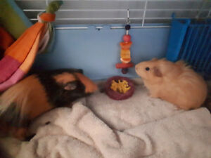 Momma and baby girl guinea pigs for sale together