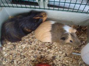 Guinea Pigs and their cage