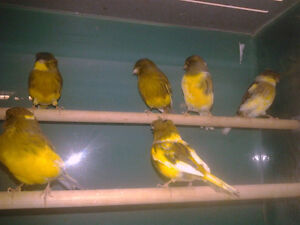 Young Canaries