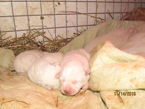 Maremma LGD pups from Working Parents Williams Lake Cariboo Area image 2