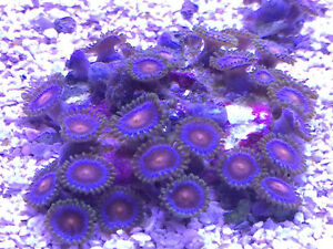 Cheap Saltwater Fish and Corals for Sale