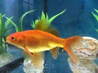2 Gold fish.